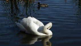 Svanen simmar längs sjön arkivfilmer