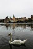 Svanfågel på den Vltava floden in i Tjeckienhuvudstad Prague Arkivbild