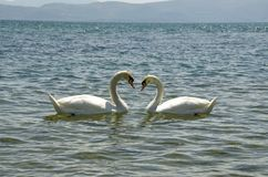 Svanförälskelse - två svanar arkivbilder