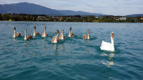 Svanfamilj på sjön Faaker Carinthia Österrike arkivbild