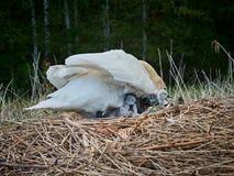 Svanfamiljen kommer med upp unga fågelungar royaltyfria bilder