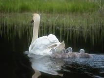 Svanfamiljen kommer med upp unga fågelungar arkivbild