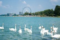 Svanflock på Balaton sjön i Siofok med pariserhjulen i th royaltyfri bild