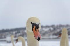 Svanhuvud Mycket oskarpt vinterlandskap i bakgrund Selektivt fokusera Royaltyfria Bilder