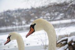 Svanhuvud Vinterlandskap i den oskarpa bakgrunden Selektivt fokusera Arkivfoton