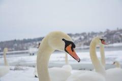 Svanhuvud Vinterlandskap i den oskarpa bakgrunden Selektivt fokusera Arkivfoto