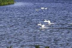 Svanlandning på vatten Royaltyfria Bilder