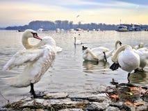Svanlokalvård på flodkusten fotografering för bildbyråer