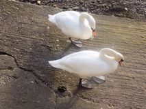Svannr flodtweeden, Berwick på tweed, Northumberland UK Royaltyfri Fotografi
