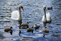 Svanpar med baby'sen Royaltyfri Fotografi