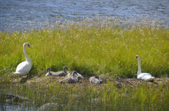 Svanpar med unga svanar i Kalmar Skärgården Royaltyfri Foto