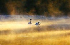 Svanpar på sjön Arkivbilder