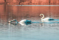 Svanpar på sjön Arkivbild