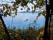Svanpar på sjön i höst arkivfoton