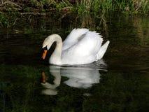 Svanreflexion Fotografering för Bildbyråer