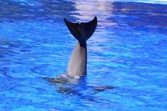 svans av en delfin Arkivbild