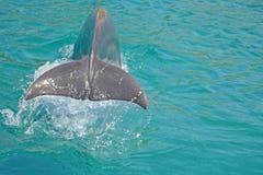 Svans av en delfin med vattenfärgstänk Delfin fördjupas i vatten Observation av delfin i Israel royaltyfria foton