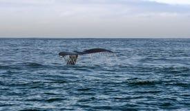 Svans av valsimning i havet Royaltyfria Foton