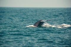 Svans för blått val som djupt dyker, indiskt hav Djurlivnaturbakgrund Turist- intryck Affärsföretaglopp, turismbransch mir Fotografering för Bildbyråer
