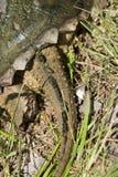 Svans för låsande fast sköldpadda för alligator - Macrochelys temminckii Royaltyfri Foto