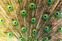 Svans för påfågel` s abstrakt bakgrund royaltyfri bild