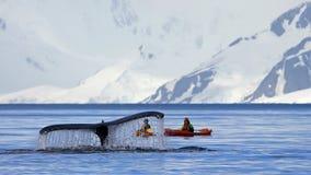 Svans för puckelryggval med kajaken, fartyget eller skeppet som visar på dyken, antarktisk halvö royaltyfria bilder