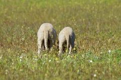 Svans för två rolig lamm på ängen Royaltyfria Bilder