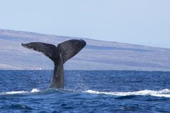 Svansdykning för svart val in i havet med öbakgrund Fotografering för Bildbyråer