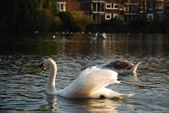 Svansimning i dammet, Hampstead hed, London, UK arkivbilder