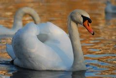 Svansimning i dammet, Hampstead hed, London, UK royaltyfria bilder