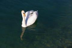 Svansimning i genomskinligt sjövatten royaltyfria foton