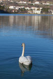 Svansimning i Restello sjön Royaltyfri Fotografi
