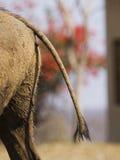 svanwarthog Royaltyfria Foton
