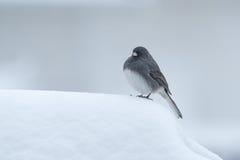 Svartögd Junco i snön Arkivbilder