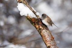 Svartögd junco och snö Royaltyfri Foto