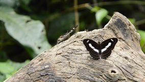 Svart-ådrad sergean fjäril som hänger och applåderar vingen på timmer i skog lager videofilmer