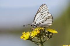 Svart-ådrad vit fjäril Arkivbilder