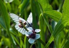 Svart-ådrad vit fjäril på den vita blomman Royaltyfri Bild
