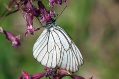 Svart-ådrad vit fjäril på en purpurfärgad blomma Royaltyfria Foton