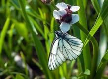 Svart-ådrad vit fjäril på en vit blomma Arkivfoto