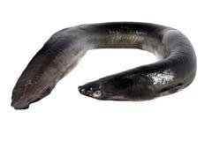 Svart ål arkivbild