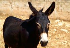 svart åsna Royaltyfri Bild