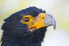 svart örn Arkivbild