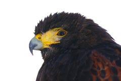 svart örn Arkivfoto