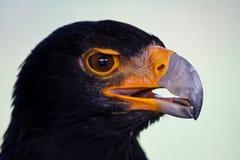svart örn Royaltyfri Foto