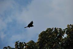 Svart örn som flyger över ett träd royaltyfri bild