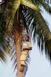 Svart afrikan som klättras till överkanten av en palmträd. Fotografering för Bildbyråer