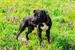 Svart amerikanska Staffordshire Terrier valphund Royaltyfri Fotografi