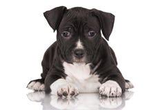 Svart amerikanska staffordshire terriervalp Royaltyfri Bild