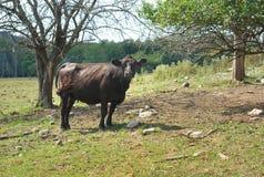 Svart angus ko i ett fält royaltyfria bilder